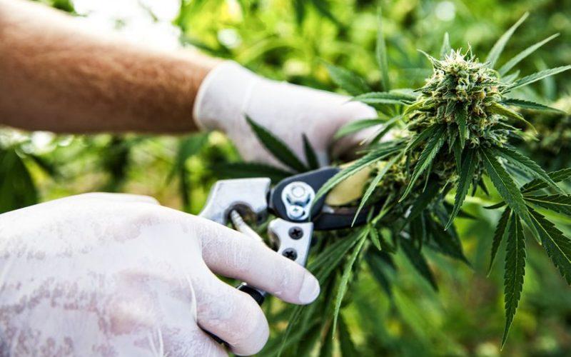 Marijuana Misdemeanor Texas