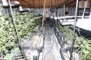 Las Vegas indoor Marijuana plants bust